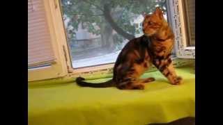 Бенгальский мраморный кот Амур. 27.07.2014 г. www.lamparty.jimdo.com