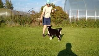 щенок аляскинского маламута чёрно-белого окраса