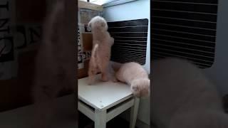 Шотландские котята (Скоттиш- Фолд)