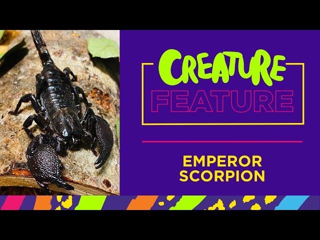 Creature Feature: Featuring Matilda the Emperor Scorpion!