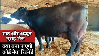 छोटे किसान कि ये Murrah buffalo बना पाएगी नैया रिकार्ड,दूध की मशीन:-30 Kg Expected milk a Farmer hom