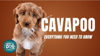 Cavapoo Dog Breed Guide | Dogs 101  Cavapoo/Cavoodle