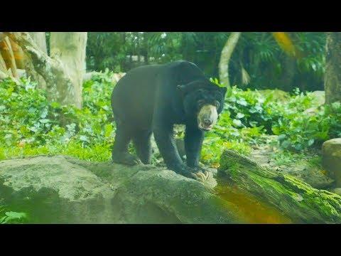 Sun Bear feared to rain and thunders in Singapore Zoo.Bhalu.भालू.Bears Video