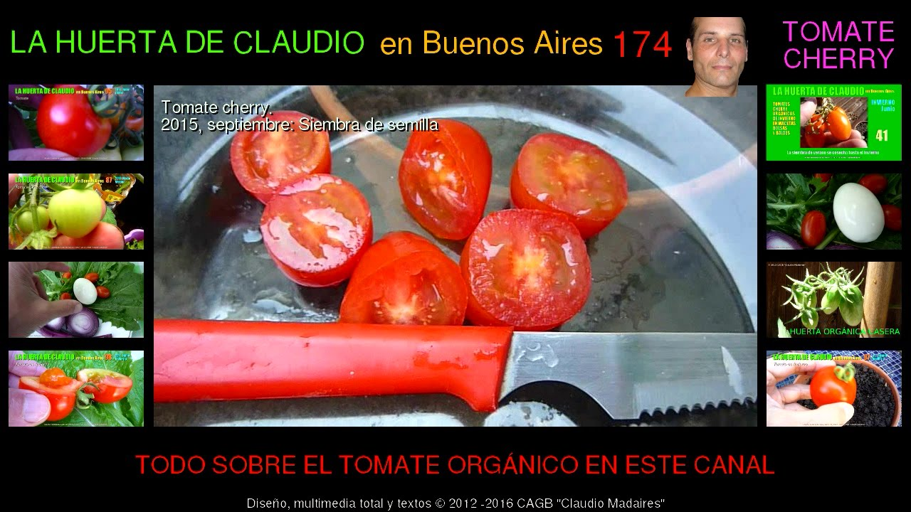 cultivo de tomates cherry orgnicos en casa u siembra exprimiendo tomates