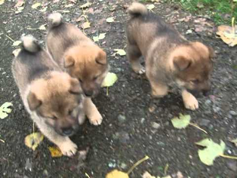 shikoku-ken:-aka's-puppies-5-week-old/5-semaines-(o-chanur-kennel-02/11/2013)