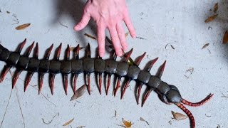 WORLD'S LARGEST CENTIPEDE!