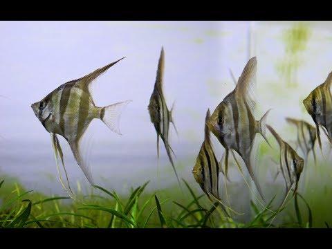 Fish Rack and Altum Angelfish Tank Update 4K