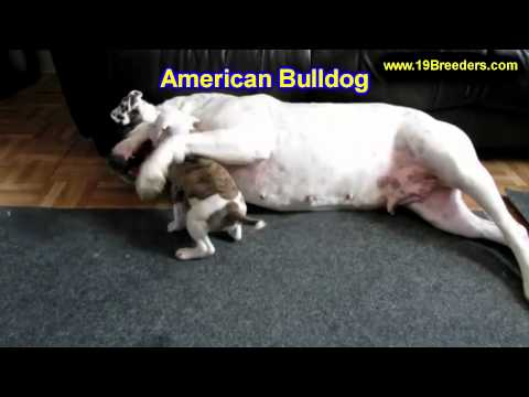 American Bulldog, Puppies, For, Sale, In, Oklahoma City, Oklahoma, OK, Warr Acres, Guthrie, Weatherf