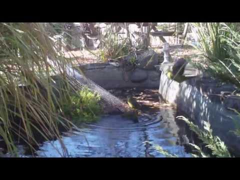 Green Rosella's bathing remote camera