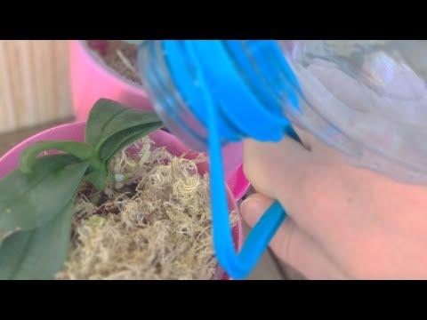 РЕЦЕПТ орхидеи РЕАНИМАЦИИ! ЕСЛИ орхидеи без корней В ВОДЕ СПА! УНИКАЛЬНЫЙ способ УКОРЕНЕНИЯ орхидеи!