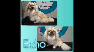 Tibetan Spaniel  Echo's Dog Grooming TransFurMation