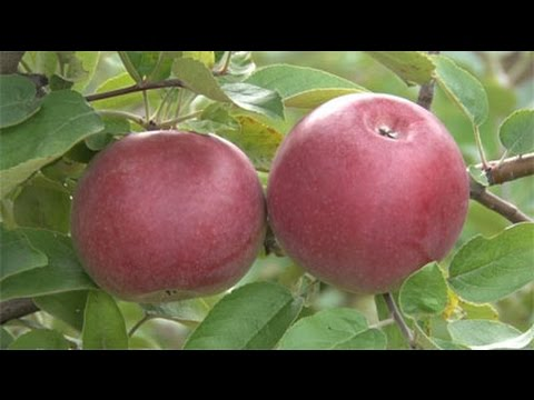 Discovering - All about apples and apple trees