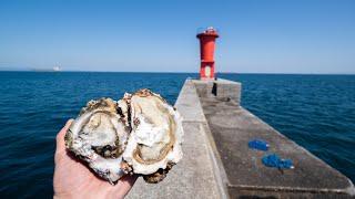 コブダイが大繁殖した沖堤防にドブで拾った牡蠣をぶち落とすと…。