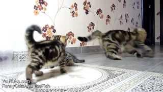 Смешные коты, формула - 1