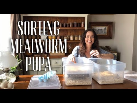Sorting Mealworm Pupa