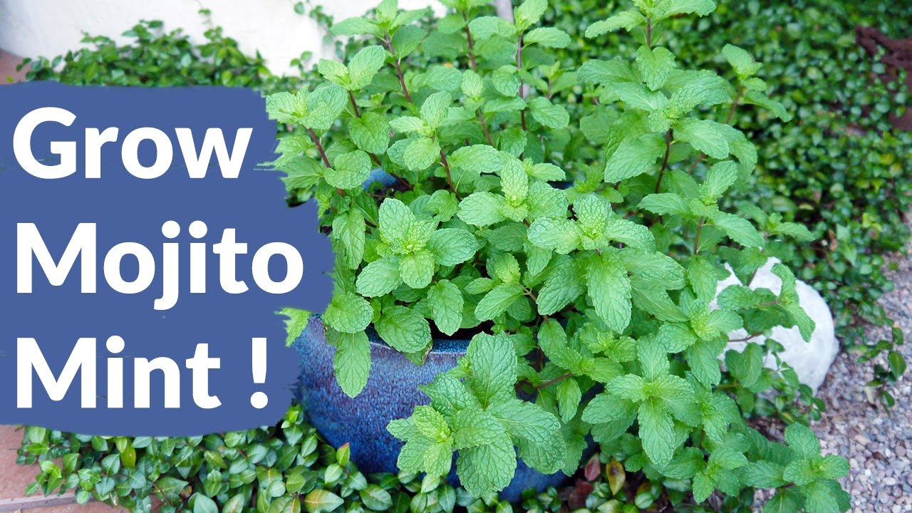 4 Simple Techniques For Mint Seeds Growing
