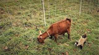 Entanglement/Strangulation Risk - Training Goats To Electric Net Fencing