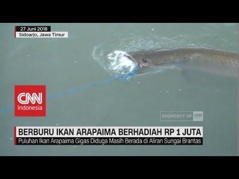 Berburu Ikan Predator Arapaima Berhadiah Rp 1 Juta