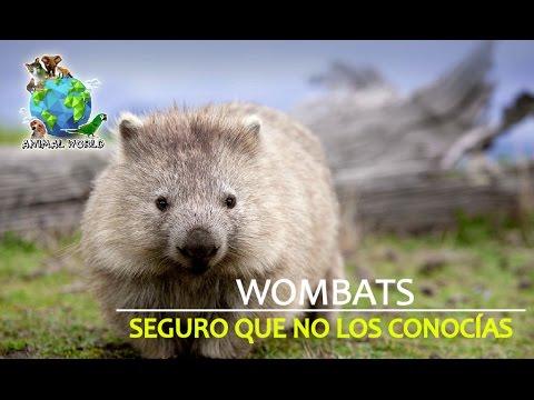 SEGURO que NO LOS CONOCÍAS, WOMBATS