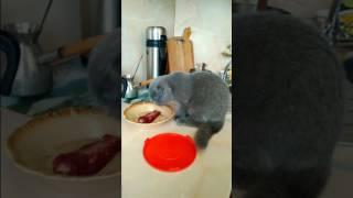 Котенок Чита утром на кухне) Шотландская вислоухая кошка 4 месяца