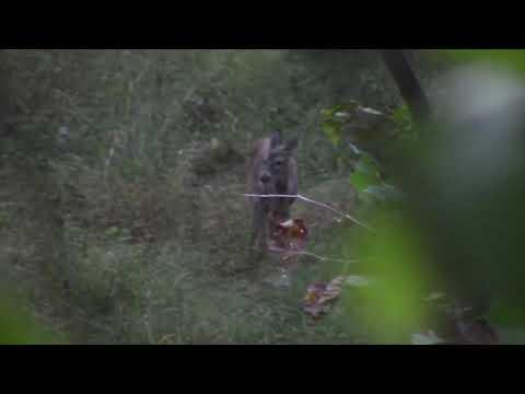 Big West Virginia Whitetail Buck