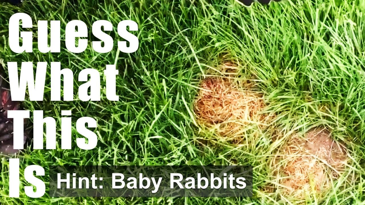 how to get rid of rabbits in front yard