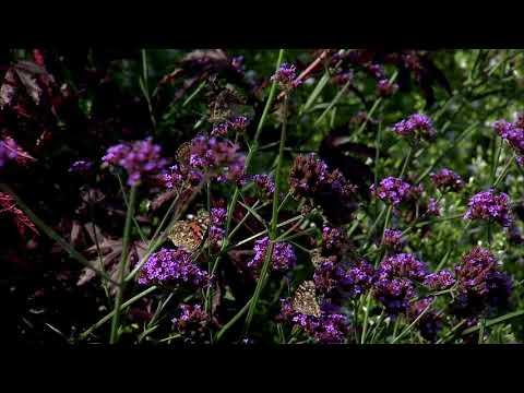 Massive Butterfly Migration through Nebraska