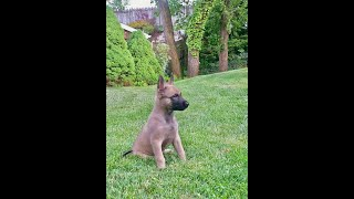 Protection Dogs Ccpd - Belgian Malinois Puppy Working At 11 Weeks