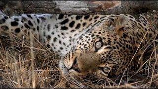SafariLive July 13 - Spotty friday:  Leopards Tingana, Thandi and Tlalamba