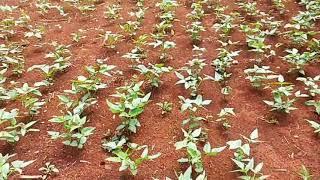 trồng đậu đen thu hoạch cao
