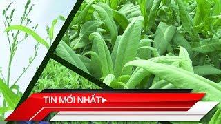 Tin mới nhất | Triển vọng phát triển cây dược liệu bồ công anh ở Đồng Tháp