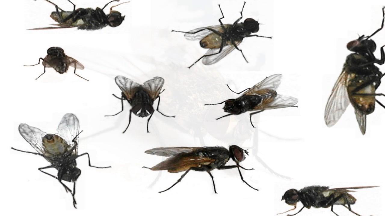 Les humains sont des bobo mouches opulentes inconscientes youtube - Pourquoi les mouches piquent ...