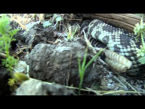 Rattlesnake at Big Sky Movie Ranch