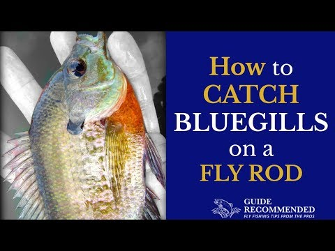 How To Catch Bluegills On A Fly Rod