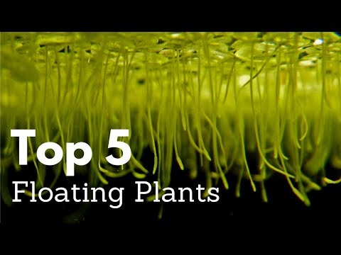 Top 5 Floating Plants For Aquariums
