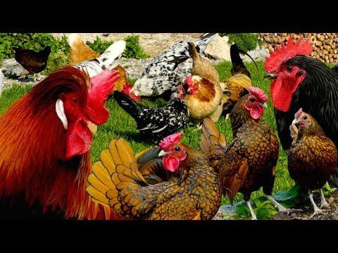 Die 20 schönsten Hühnerrassen - Altsteirer, Chabo, Leghorn, Orloff, Sebrigth, Yokohama - Hühner Doku