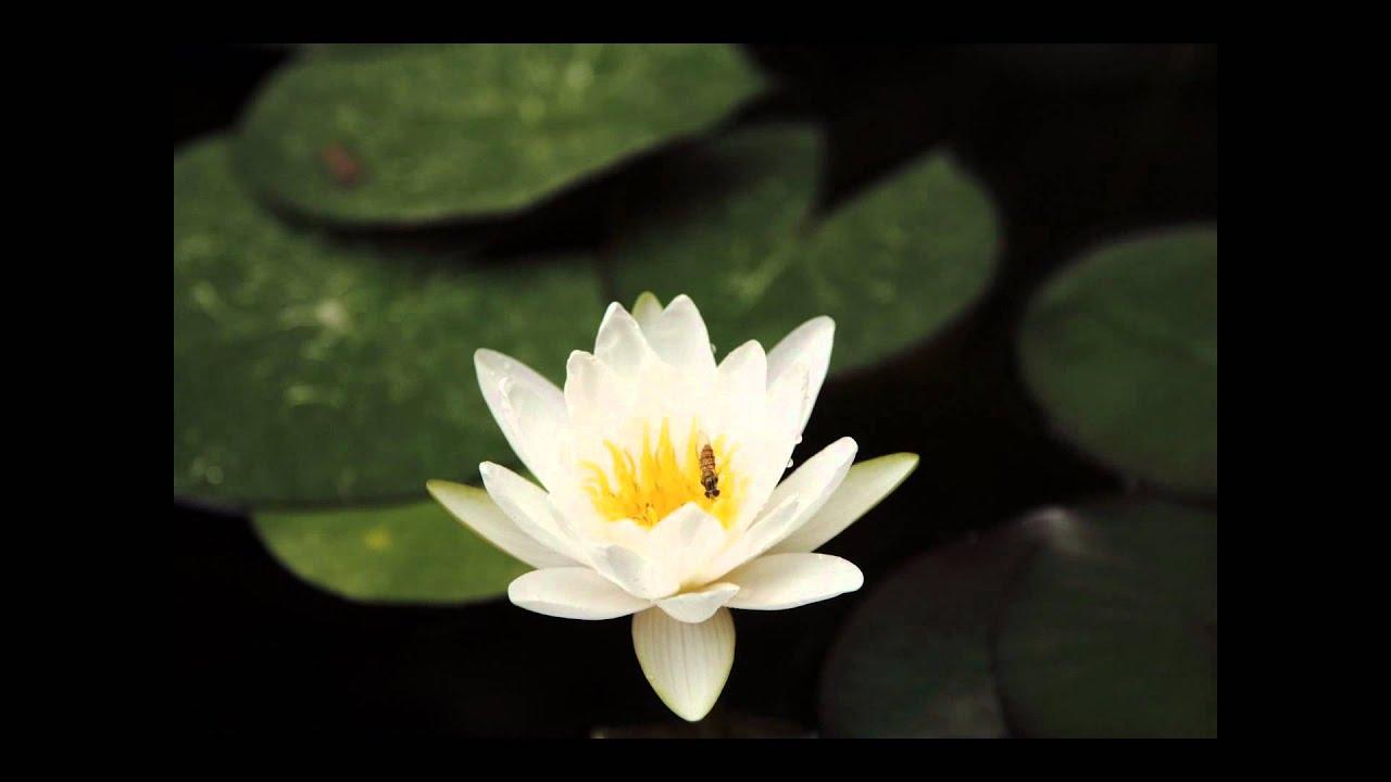 3d Lotus Live Wallpaper Time Lapse Flor De Loto Abriendose Youtube