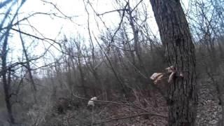 Охота с бретонским эпаньольом на фазана и вальдшнепа