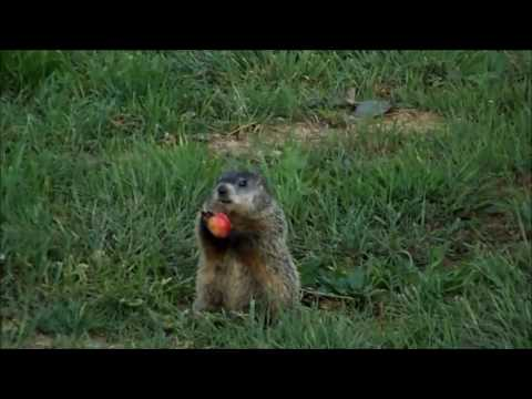how much wood could a woodchuck chuck if a woodchuck could ...