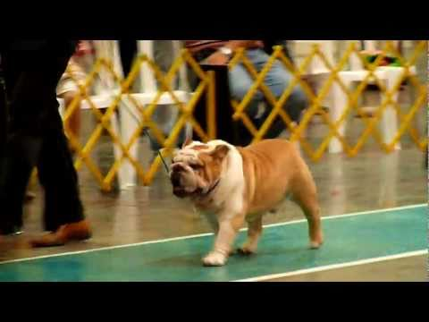 Toro Mauiexpo Kennel BIS English bulldog, Bulldog Ingles Best In show