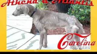 South Carolina Weimaraner Puppies For Adoption In Columbia,