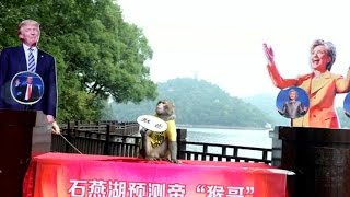 Monkey in China predicts Trump will become president