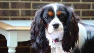 Willow Tricolour Cavalier King Charles Spaniel