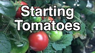 Starting Tomato Seedlings - Getting a head start on your Heirloom Open Pollinated Seedlings