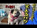 飼い主がアホ過ぎてドン引きするパグの表情が面白すぎて笑える!『おまめ日記』Pug Comedy Videos From Japan