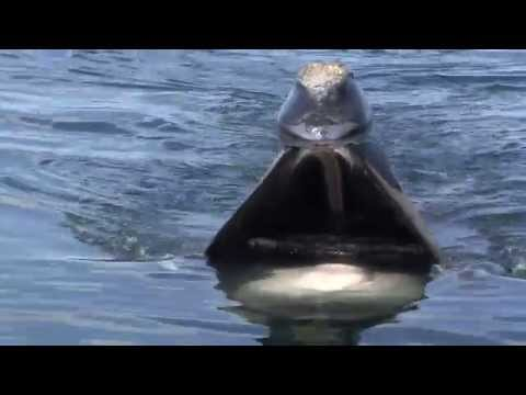 A Close Look: Skim Feeding Right Whales