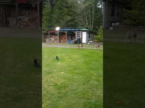 Manx kitten chases deer
