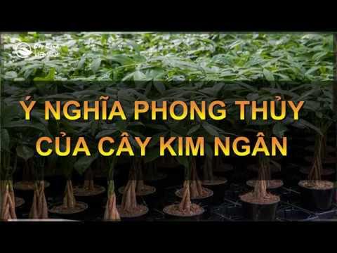 Ý nghĩa phong thủy của cây Kim ngân