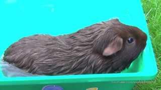 Морская свинка купается, водные процедуры