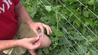 A Quick & Simple Method For Trellising Vining Vegetables